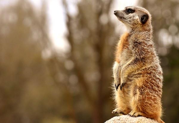 meerkat 3372211