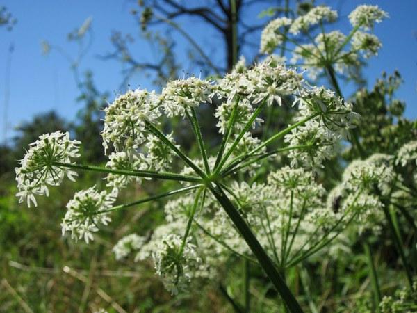 apiaceae hercaleum 844414